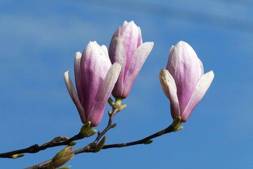 Magnolia, Flower, Button, Bloom, Spring, Garden