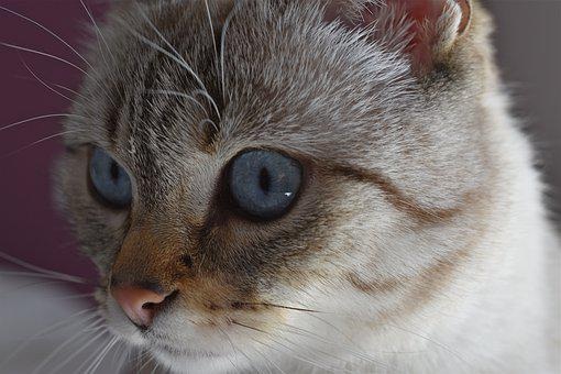 Cat, Look, Feline, Animals, Eyes, Blue, Eye, Fur, Cute