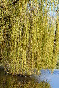 Weeping Willow, Branches, Branch, Nature, Ditch