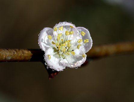 Flowers, Wet, Drops, White, Casey, Tree, Spring, Nature
