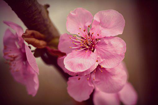 Cherry Blossom, Flower, Spring, Blooming, Branch, Tree