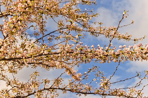 Nature, Cherry Blossom, Spring, Pink, Tree, Branch