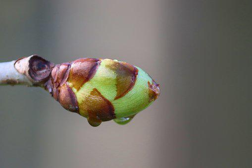 Bud, Chestnut, Leaf Bud, Chestnut Tree, Spring, Sprout