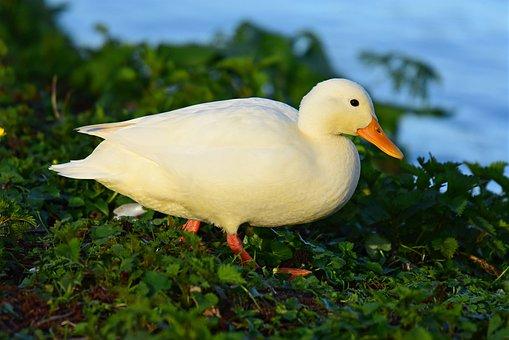 Duck, Mallard, Water Bird, Animal, Female, Feather