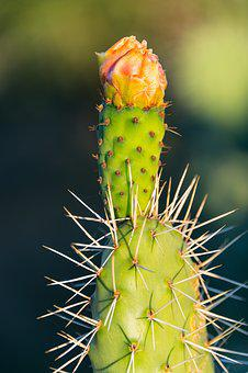 Cactus, Prickly Pear, Flower, Spines, Prickly, Green