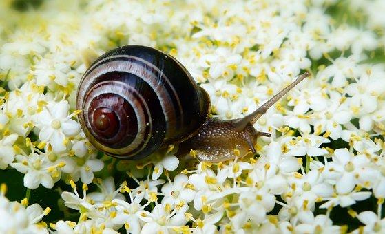 Snail Zaroślowy, Molluscs, Flowers, Forest, Animals