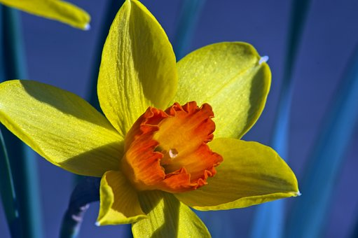 Orange And Yellow Narcissus, Garden, Bloom, Plant