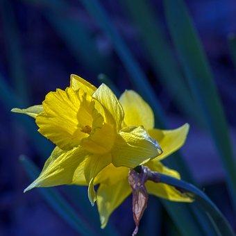 Ozark Jonquil, Garden, Bloom, Plant, Flowers, Blossom
