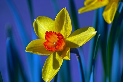 Yellow And Orange Narcissus, Garden, Bloom, Plant