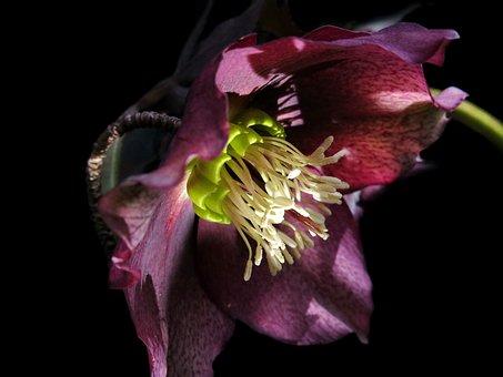 Christmas Rose, Hellebore, Anemone Blanda
