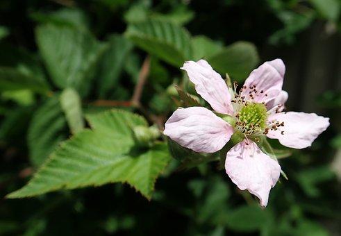 Flower, Blackberry, Blossom, Fruit, Garden, Nature
