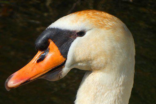 Swan, Head, Babu, Feathers, Eyes, Bird, Beak, Nature