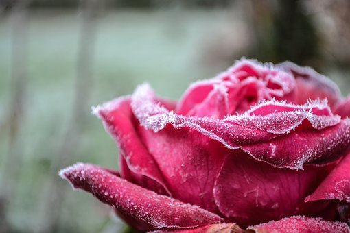 Gel, Flowers, Flower, Winter, Frozen, Cold, Nature