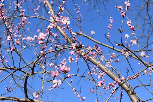 Peach Blossom, Natural, The Scenery, Views, Red, Pistil