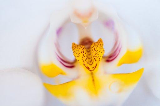 Orchid, Phalaenopsis, Blossom, Bloom, Plant, Flower
