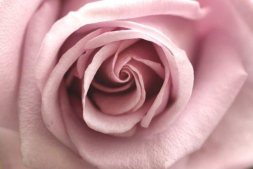 Rose, Pink, Flower, Nature, Love, Blossom, Bloom