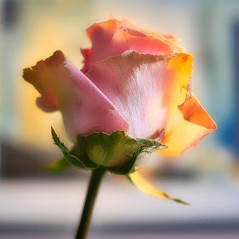 Rose, Blossom, Bloom, Flower, Romantic, Love, Pink