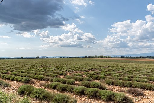 Lavender, Field, Plants, Agriculture, Valensole
