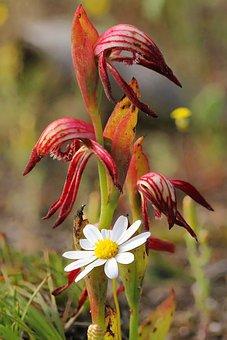 Red Beak, Orchid, Wildflowers, Focus Stack