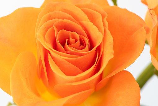 Blossom, Bloom, Orange, Rose, Flower, Rose Bloom