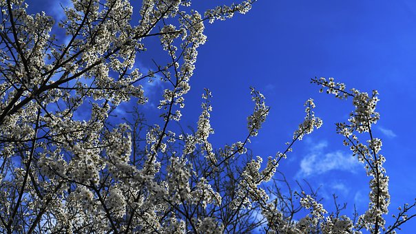 Flowers, Tree, Wildwachsend, Nature, Spring, Branches