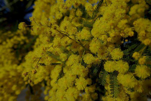 Mimosa, Mimosa Woman, Yellow, Flower, Spring, Bloom