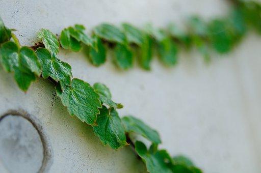 Plants, Nature, Wall, Ivy, The Leaves, Vine, Leaf