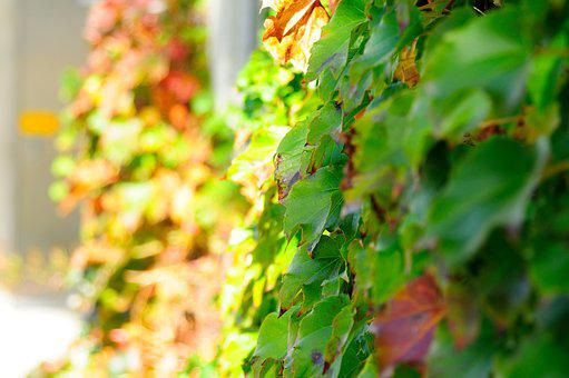 Plants, Nature, Wall, Ivy, The Leaves, Vine