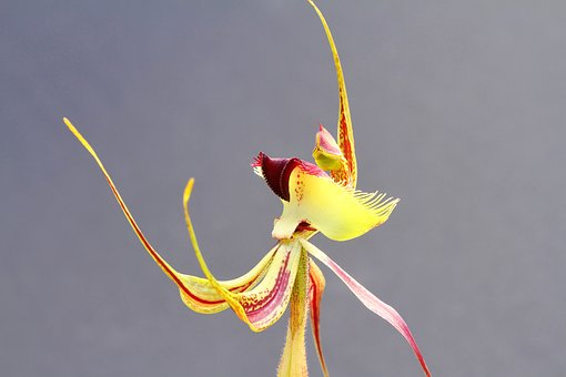 Butterfly Orchid, Wildflowers, Orchids