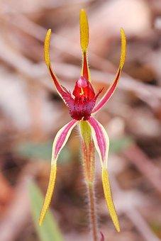 Reaching Spider, Orchid, Western Australia, Wildflowers