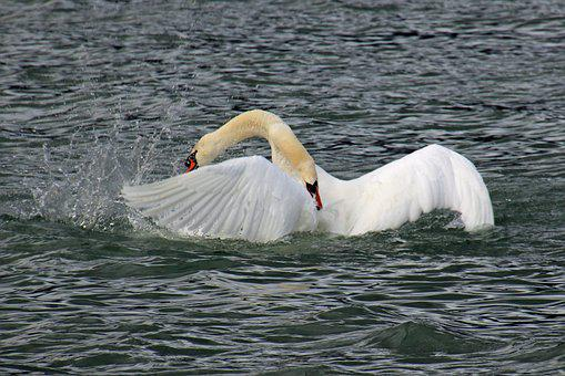 Swan Fight, Fight, Swan, Swans, Lake, Winner, Loser
