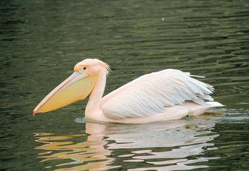 Pelican, Pink, Bird, Water, Beak, Animal, Pond, Floats