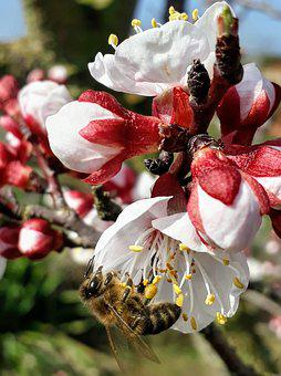 Apricot Blossom, Bee, Bud, Bee Pollen, Pollination