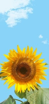 Sunflower, Sky, Flower, Yellow, Background