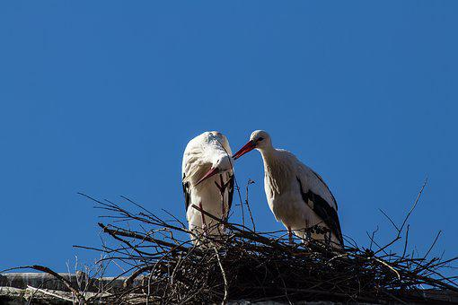 Stork, Storks, Bird, Birds, Animal, Animal World