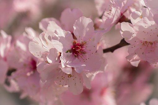 Cherry Blossom, Flowering Twig, Bloom, Blossom