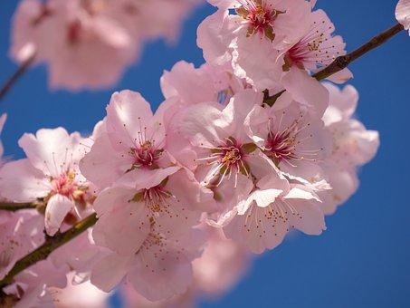 Cherry Blossom, Flowering Twig, Spring, Flowers, Bloom