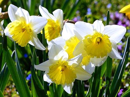 Daffodils, Blossom, Bloom, Daffodil, Spring