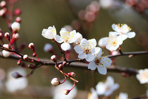 Ornamental Cherry, Blossom, Bloom, Pink, Tree, Spring