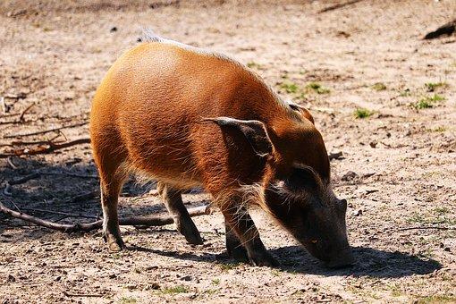 Brush Ear, Animal, Zoo, Nature, Animal World