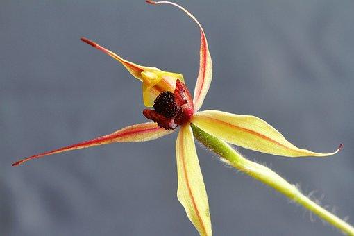 Kojonup, Leaping Spider Orchid, Caladenia Macrostylis