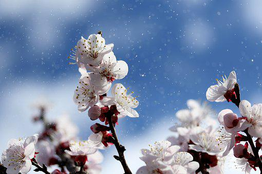 Flowers, White, Spring, Casey, Tree, Nature, Supplies