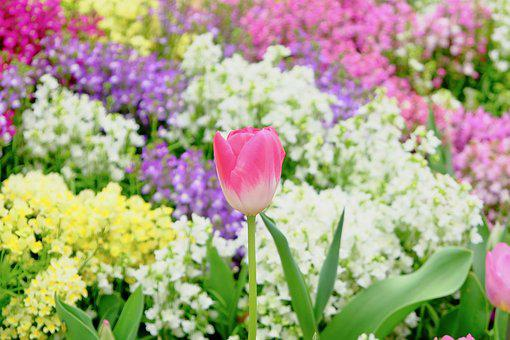 Tulip, Flower Bed, Colorful, Spring, Full Blooming