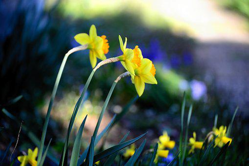 Osterglocken, Daffodils, Spring, Yellow, Nature