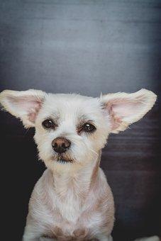 Dog, Maltese-havanese, Hybrid, White, Small, Sweet
