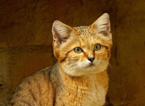 Desert, Cat, Feline, Sand, Young, Wildcat, Nature, Wild