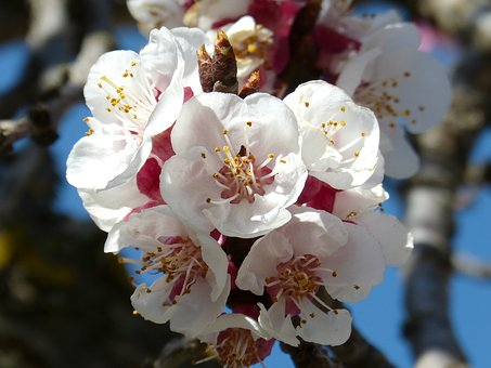 Almond Tree, Flower, Knob, Spring, Flowering