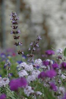Flower, Color, Lavender, Flowers, Plants, Spring