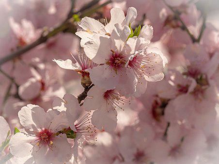 Cherry Blossom, Flowers, Flowering Twig, Blossom