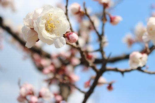 Cherry Blossom, Flowers, Spring, Beautiful, Nature